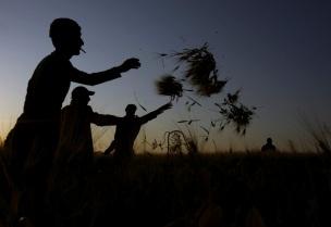 Palestinians harvesting in Jenin