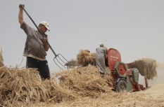 Palestinian farmers collect wheat
