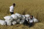 Shavuot harvesting