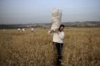Haredi Shavuot Harvesting